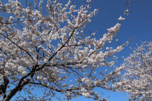 桜(ソメイヨシノ)は現在9分咲きです