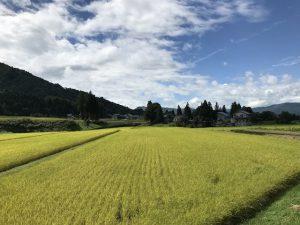 食堂前コスモス畑は9月中旬-下旬見頃の予定です